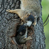 Southern Fox Squirrel den cavity