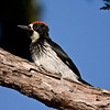 Acorn woodpecker, male fledgling in Redwood.