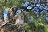 Owls Great Horned 718
