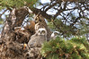 Owls Great Horned c 824