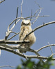 Owl Great Horned chick301
