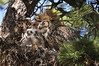 Owls Great Horned 664