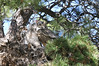 Owls Great Horned 681