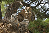 Owls Great Horned 887 c