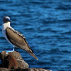 Galapagos Islands, Blue-Footed Booby, North Seymour Island