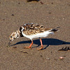 Galapagos Islands, Ruddy Turnstone, Floreana