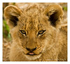 Lion Cub & Tongue