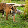 Young Sumatran Tiger Prowling Through Greenery