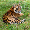 Sumatran Tiger Lying on Grass Looking Over Shoulder