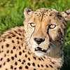 Head Shot of Beautiful Cheetah in Afternoon Sun