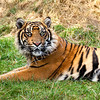 Curious Sumatran Tiger Lying in the Grass