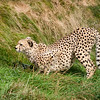 Cheetah Crouching in the Grass Ready to Pounce
