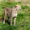 Side View of Cheetah in Long Grass