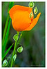 California Poppy & Lace Pod