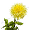 Beautiful Yellow Dahlia and Foliage