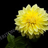Beautiful Yellow Dahlia on Black Background