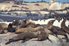 Seals gather all over rock islands near Cape of Good Hope in South Africa