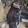 Moulting yellow-eyed penguin/hoiho (Megadyptes antipodes)