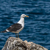 Black-backed gull / karoro (Larus dominicanus). Puddingstone Rock, Otago Peninsula