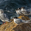 White-fronted terns (Sterna striata) and red-billed gull (Larus novaehollandiae), Aramoana