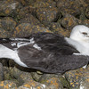 Southern black-backed gull / karoro (Larus dominicanus) - an unhealthy adult, probably at the end of his days