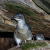 Little blue penguin / korora (Eudyptula minor). Taieri Island / Moturata