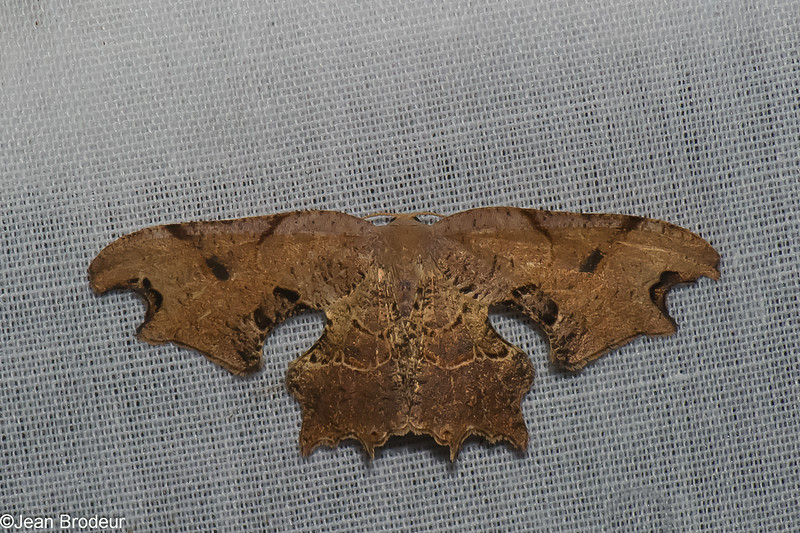 Uraniidae, Calledapteryx sp. Brown Scoopwing Moth<br /> 7118, Mount Totumas Cloud Forest, Panama, 25 juin 2014