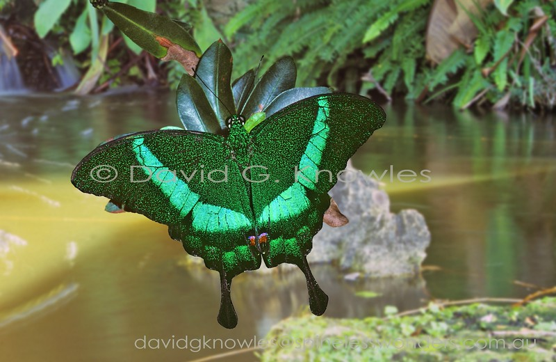 Always a pleasure to encounter this lovely swallowtail. Unlike many, it is relatively easily approached when at rest. I have often wondered how these butterflies evolved to 'appear' so green in the very green leafy forest environment. I need to look as this species under ultra-violet light against a standard leaf background to see if the pattern fluoresces. If they do stand out markedly then mate location in the green environment would not be an issue as most diurnal flower-visiting insects have UV sensitive eyes. However this scenario does not make life any easier for the adult butterfly as most diurnal insectivorous birds also have UV sensitive eyes. The Emerald Swallowtail ranges from Malaysia, Burma, Philippines to Indonesia