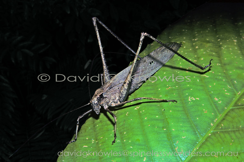 This unidentified species in among the largest South East Asian katydids. It is a dead leaf camouflage specialist with a catch. As it is arboreal the 'dead leaf' has not made it to the ground and has been snagged by lower vegetation after it was detached from the parent plant. The legs add to the camouflage by resembling dead stems