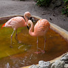 Brazilian Pink Flamingos
