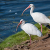 White Ibis on the golf course