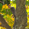Red Bellied Woodpecker in the cemetery