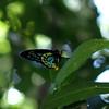 Ornithoptera richmondi - Richmond Birdwing