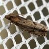 Tetramoera gracilistria