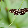 Zebra Longwing Florida State Butterfly