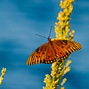 Fritillary butterfly on goldenrod