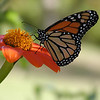 Monarch Butterfly on Mexican Sunflower (Danaus plexippus)