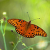 Fritillary butterfly on Spanish needles