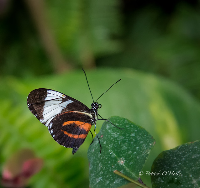 Golden Heliconid Butterfly