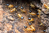 Nasute termite soldiers (Termitidae) rush forward to guard a breach in their nest.  These insects can squirt a noxious, sticky substance out of their snouts.<br /> <br /> Cape York Peninsula, Queensland, Australia