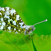 Orange-tip Butterfly(Female) Anthocharis Cardamines