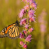 Monarch on Rough Blazing Star