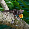 Anole showing his colors