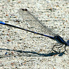 Kiowa Dancer Damselfly View 1