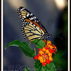 Migrating Monarch on Lantana