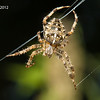Garden (Cross) Spider 1