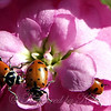 Pink Flowers With Lady Bugs