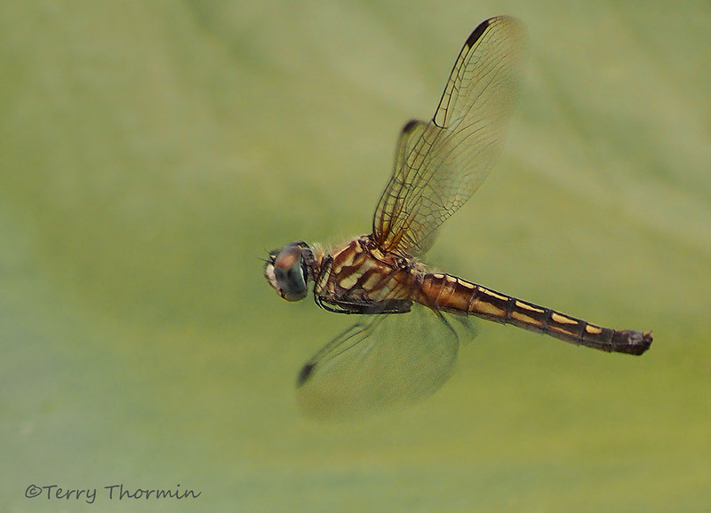 Blue Dasher female in flight, Pachydiplax longipennis