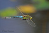Common Green Darner in flight, Anax junius
