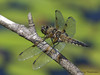 Four-spotted Skimmer, Libellula quadrimaculata - Little River Pond